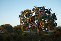 Cork trees (Quercus suber) and Wild Olive (Olea ueropaea var. sylvestris) with a rich abundance of natural underbush made up of Mastic (Pistacia lentiscus, Fillirea (Phyllirea angustifolia), strawberry tree (Arbutus uneda), Myrtle (Myrtus communis) and Bracken Fern (Pteridium aquilinum)<br /> These areas are some of the best examples of natural vegetation which have almost disappeared from the area.<br /> Doñana National & Natural Park. Huelva Province, Andalusia. SPAIN<br /> 1969 - Set up as a National Park<br /> 1981 - Biosphere Reserve<br /> 1982 - Wetland of International Importance, Ramsar<br /> 1985 - Special Protection Area for Birds<br /> 1994 - World Heritage Site, UNESCO.<br /> The marshlands in particular are a very important area for the migration, breeding and wintering of European and African birds. It is also an area of old cultures, traditions and human uses - most of which are still in existance.