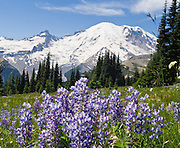 """Morning sun hits Mount Rainier (14,411 feet elevation) and lupine flowers near Sunrise Visitor Center in Mount Rainier National Park, Washington, USA. Lupinus is a genus in the pea family (also called the legume, bean, or pulse family, Latin name Fabaceae or Leguminosae). Published in """"Light Travel: Photography on the Go"""" book by Tom Dempsey 2009, 2010."""