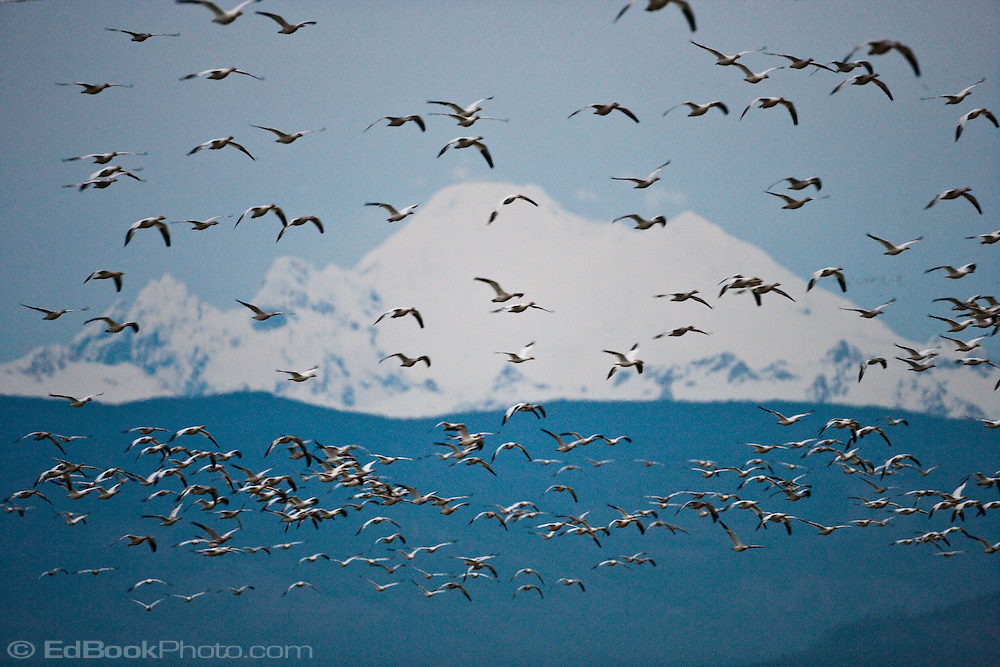 Snow Goose (Chen caerulescens) flock flying with a background of Mount Baker at Fir Island, Skagit River delta, Puget Sound, Washington, USA