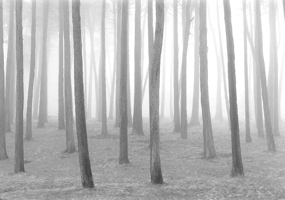 Presidio trees in fog, 1993. Tri-X Fim.