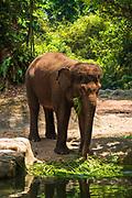 Asian elephant at the Singapore Zoo, Singapore, Republic of Singapore