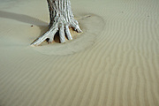 Sand dunes and tree on shore of Lake Ontario<br /> Sandbanks Provincial Park<br /> Ontario<br /> Canada