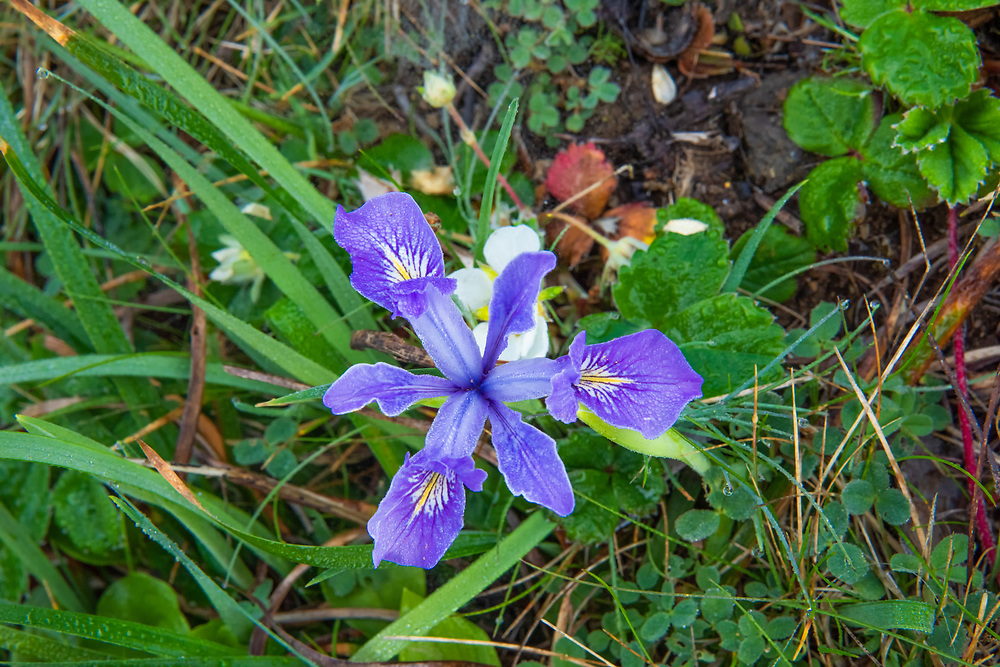 Found only along the Pacific coastline of Oregon and California, this beautiful pale purple to blue iris is found in wet habitats with fresh water, often in forested and open areas near the beach. This one was found growing in a small ravine where a small creek was flowing into a tidal pool below on Cape Perpetua on the Oregon Coast.