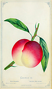 George IV Peach Cultivar from Dewey's Pocket Series ' The nurseryman's pocket specimen book : colored from nature : fruits, flowers, ornamental trees, shrubs, roses, &c by Dewey, D. M. (Dellon Marcus), 1819-1889, publisher; Mason, S.F Published in Rochester, NY by D.M. Dewey in 1872