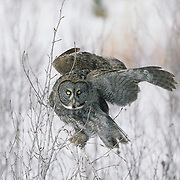Great Gray Owl (Strix nebulosa) adult in flight, hunting. Canada