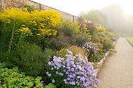 Asters and Solidago 'Golden Wings' in the herbaceous border on a misty morning at Waterperry Gardens, Waterperry, Wheatley, Oxfordshire, UK