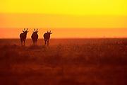 Image of three antelopes at the Masai Mara National Reserve in Kenya, Africa by Randy Wells