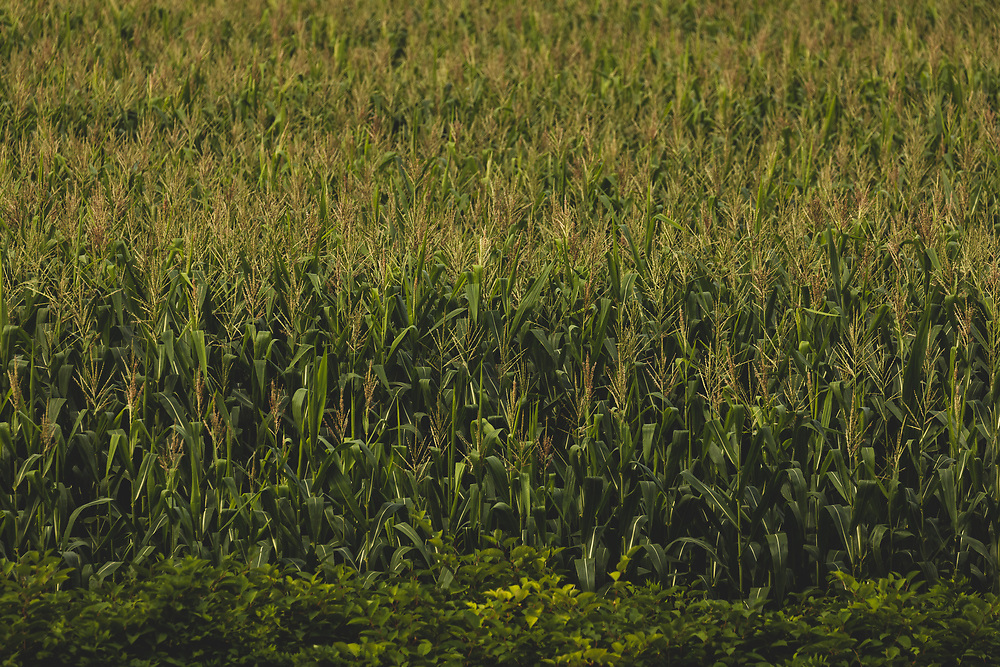Stalks of corn growing in the hot summer sun within a rural Vermont tract of land.