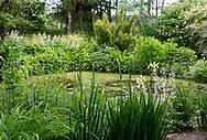 Iris spuria 'Lydia Jane' around a pond, in Stockton Bury Gardens, Kimbolton, Leominster, Herefordshire, UK