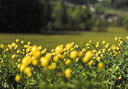 THEMENBILD - eine Wiese mit gelben Dotterblumen, aufgenommen am 23. Mai 2019, Kaprun, Österreich // a meadow with yellow marigolds on 2019/05/23, Kaprun, Austria. EXPA Pictures © 2019, PhotoCredit: EXPA/ Stefanie Oberhauser