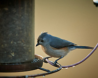 Tufted Titmouse. Image taken with a Nikon D5 camera and 600 mm f/4 lens (ISO 1600, 600 mm, f/4, 1/250 sec)