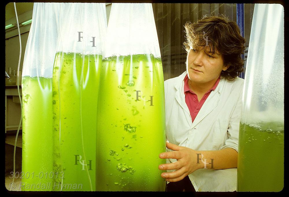 Biologst Franceoise Provost checks algae cultures- oyster food- at commercial hatchery in Morbihan. Franc