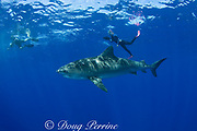 underwater photographers and tiger shark ( Galeocerdo cuvier ) North Shore, Oahu, Hawaii, USA ( Central Pacific Ocean ) MR 389, 390