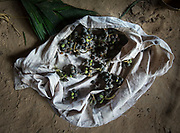 Wild grape foraged in the jungle.