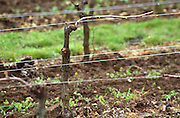 Guyot simple pruned vines in the vineyard. Domaine du Chevalier. Graves, Pessac Leognan Bordeaux France
