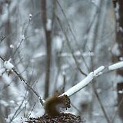 Red Squirrel, (Tamiasciursus hudsonicus) Sitting on top on cache of pine cones.Slight snow cover.