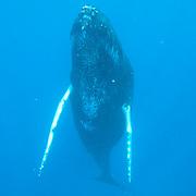 Humpback Whale (Megaptera novaeangliae). A lone adult in the Caribbean Ocean.