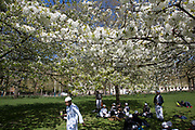 Group of young muslim boys sitting in the shade underneat cherry blossom on trees in St James's Park in London, UK. Due to sunny days and cold nights, the season for the flowering trees has been extended longer than is usual.
