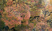 Persian Ironwood Tree, Parrotia persica, UK, spectacular autumn colours, growing over pond with reflection