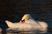 Mute Swan (Cygnus olor) preens in the morning light.  Ontaio, Canada