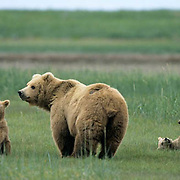 Alaskan Brown Bear, (Ursus middendorffi) Mother with young cubs, one standing, one rolling on back, feet in air, Katmai National Park. Alaska