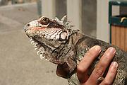 Rock Iguana (Cyclura) being handled photographed on St Thomas, US Virgin Islands, Caribbean