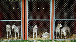 © Licensed to London News Pictures.14/07/15<br /> Harrogate, UK. <br /> <br /> Hounds look out of their kennels on the opening day of the Great Yorkshire Show.  <br /> <br /> England's premier agricultural show opened it's gates today for the start of three days of showcasing the best in British farming and the countryside.<br /> <br /> The event, which attracts over 130,000 visitors each year displays the cream of the country's livestock and offers numerous displays and events giving the chance for visitors to see many different countryside activities.<br /> <br /> Photo credit : Ian Forsyth/LNP