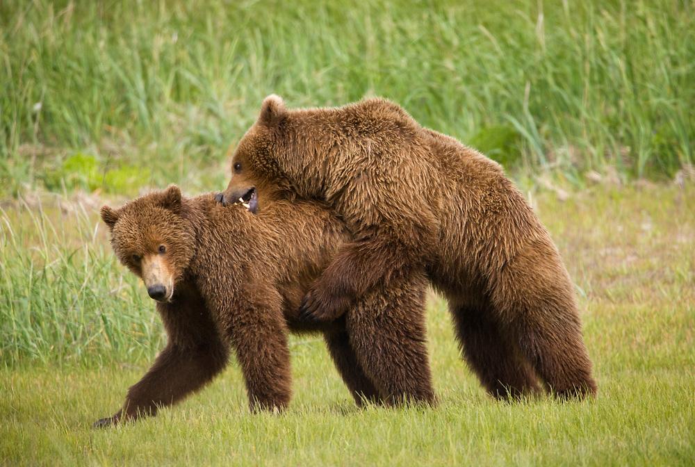 Alaska, Katmai National Park. Brown Bears (Ursus arctos) sparring in meadow along Hallo Bay. Summer.