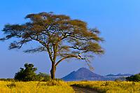 Acacia tree, Tarangire National Park, Tanzania