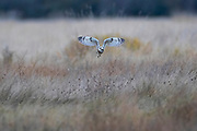 A short-eared owl (Asio flammeus) turns its head as it flies over a field on Leque Island near Stanwood, Washington. The short-eared owl is found over much of North America. It hunts over open fields and grasslands, diving to catch small mammals and birds.