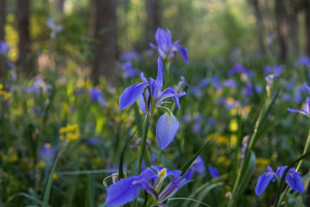 Wild iris in the swamp along the shore of Lake Verret in Assumption Parrish, Louisiana.