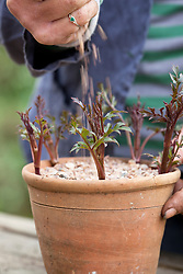 Taking basal cuttings from Dahlia 'Bishop of Llandaff'. Planting cuttings around edge of a terracotta pot and adding grit