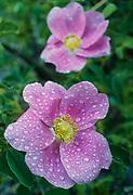 Wild rose (Rosa nutkana), Yakima River, Kittitas County, Washington, USA