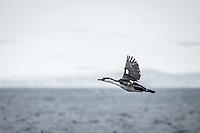 Antarctic Cormorant in flight.