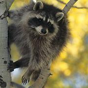Raccoon, (Procyon lotor) In aspen tree. Fall. Montana. Captive Animal.