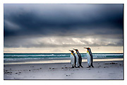 King penguins on the beach at Volunteer Point, East Falkland Island. Nikon D850, 70-200mm @ 70mm, f4.5, EV+1, 1/2000sec, ISO250, Aperture priority, Tone mapping