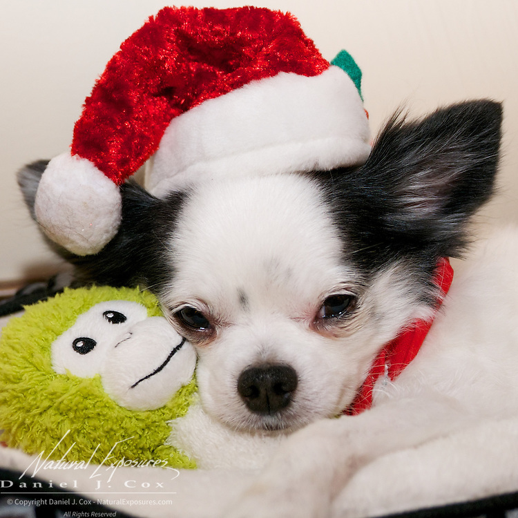 Dice with his Santa hat, drowsy after a long Christmas day of celebration. Montana