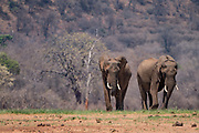 Two competing male African Bush Elephants (Loxodonta africana) Photographed in The wild
