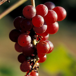 Bolton, MA.  USA. Red grapes growing at the Nicewicz Farm in Massachusetts' Nashoba Valley.