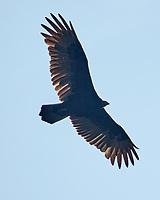 Turkey Vulture. Image taken with a Nikon 1 V3 camera and 70-300 mm VR lens.