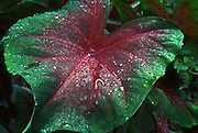 Caladium<br /> ©1994 Jeff Becker <br /> All Rights Reserved<br /> 5 Cedar Hill Road<br /> Easton, CT 06612<br /> 203.261.9765<br /> 203.526.4059