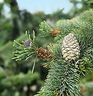 Rocky Mountain Bristlecone Pine Pinus aristata (Pinaceae) HEIGHT to 10m <br /> Small, slow-growing tree. LEAVES Needles, 2–4cm long, dark green, often flecked with white resin; turpentine-scented and persist for many years. REPRODUCTIVE PARTS Cones, to 6cm long; 6mm-long spine on each scale. STATUS AND DISTRIBUTION Native to Rocky Mountains, rarely planted here.