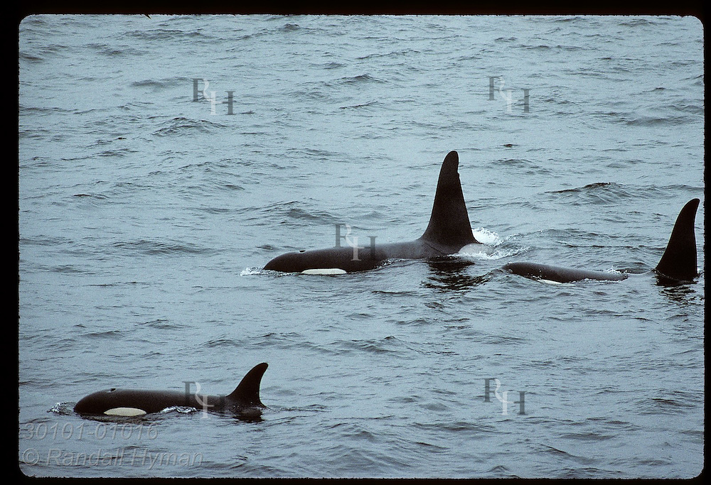 Backs and dorsal fins of orca whales emerge as they surface on a summer evening; West Fjords. Iceland