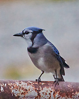 Blue Jay. Sourland Mountain Preserve. Image taken with a Nikon 1 V3 camera and 70-300 mm VR lens.