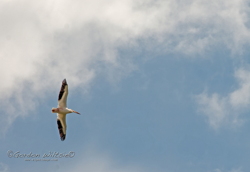 An American White Pelicans<br /> (Pelecanus erythrorhynchos) flies over the Madison River Valley in Montana.