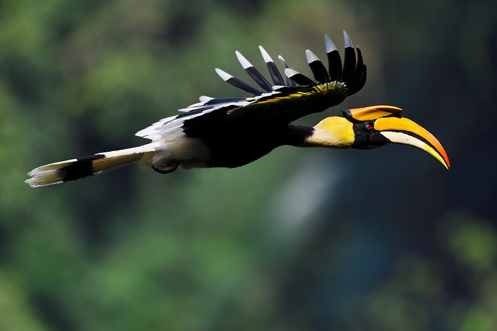 Great hornbill, Buceros bicornis, flying in Tongbiguan nature reserve, Dehong Prefecture, Yunnan Province, China