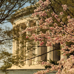Washington, DC - April 11, 2013:  Cherry blossoms at  the Thomas Jefferson Memorial located at the Tidal Basin off the Washington Channel of the Potomac River.