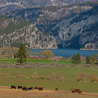 Cattle graze on a ranch beside Montana's Upper Holter Lake on the Missouri River. Behind is a canyon called Gates of the Rocky Mountains and its namesake National Forest Wilderness Area.