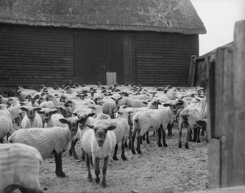 Shorn sheep at Mildenhall, Wiltshire, England 1932