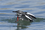 Black Guillemot - Cepphus grylle - winter plumage.  L 34cm. Charming, coastal auk. Swims well and dives for Butterfish and other bottom-dwellers. Sexes are similar. Adult in summer has mainly sooty-brown plumage except for striking white patch on wing. Has red legs and orange-red gape. In winter, has scaly grey upperparts and white upperparts; black wings and contrasting white wing patch are retained. 1st winter bird is similar to a winter adult but white wing patch contains dark markings. Voice Utters high-pitched whistling calls. Status Local year-round resident in inshore waters of Ireland and N and W Scotland.